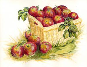 tegning æbler